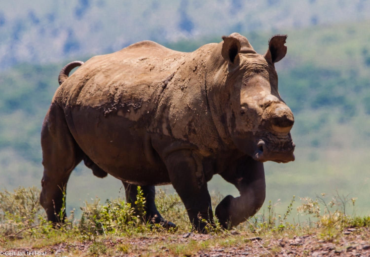 rhino close view, Ithala National Park, South Africa